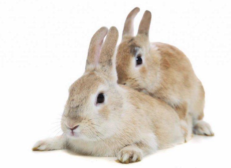 levrette de lapine